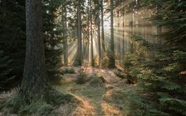 Forêt, arbres, rayons de soleil, matin, paysage naturel