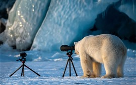 Preview wallpaper Funny polar bear, photographer
