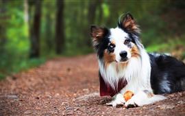 Пушистая собака, лицо, туманный фон