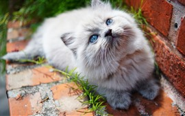 Preview wallpaper Furry white kitten look up, blue eyes