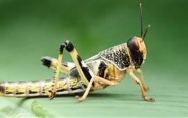 Saltamontes, fotografía macro de insectos, fondo verde