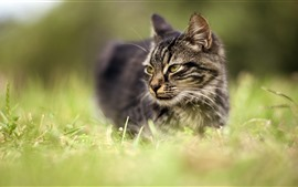Gray cat, look, face, grass, hazy background