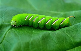 Preview wallpaper Green caterpillar, leaves