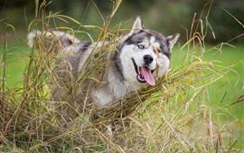 Cão Husky, grama