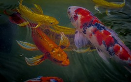Preview wallpaper Koi, fish, colors, water