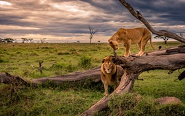 Preview wallpaper Lion and lioness, Africa, wildlife