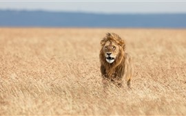 Lion in the wind, Africa
