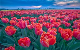 Many red tulips, flower field