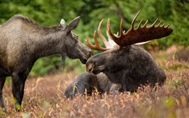 Preview wallpaper Moose, horns, wildlife