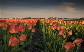 Netherlands, pink tulips, flowers field, morning
