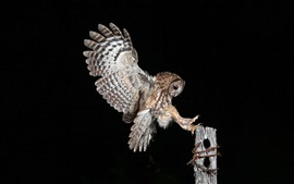 Preview wallpaper Night, owl flight, wings, stump, black background