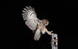 Noite, vôo da coruja, asas, coto, fundo preto