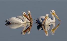 Pelicano, lago, reflexão da água