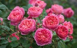 Rosas cor de rosa flor, primavera, flores