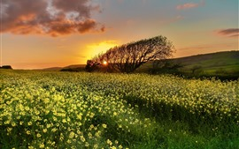 Preview wallpaper Rapeseed flowers, tree, sunset, sky, clouds