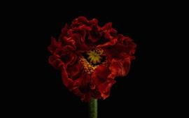 Fotografia macro de tulipa vermelha, fundo preto