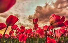 Preview wallpaper Red tulips fields, clouds, dusk