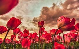 미리보기 배경 화면 빨간 튤립 들판, 구름, 황혼