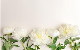Aperçu fond d'écran Quelques fleurs de pivoine blanches