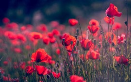 Preview wallpaper Spring flowers, red poppies