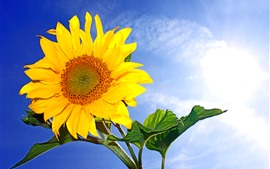 Girassol, pétalas amarelas, céu azul, raios de sol