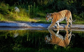 Preview wallpaper Tiger walking, pond, water reflection