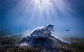 Preview wallpaper Turtle, underwater, sun rays