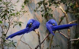 Preview wallpaper Two blue feather parrots