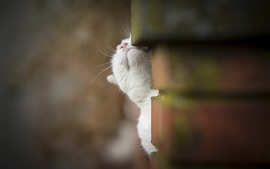 Preview wallpaper White cat take head up, wall, hazy