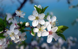 Preview wallpaper White cherry flowers bloom, spring