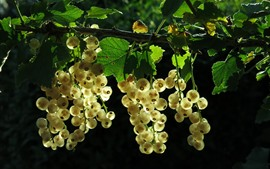 Preview wallpaper White currants, green leaves, backlight