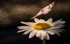 Белая маргаритка, бабочка, насекомое