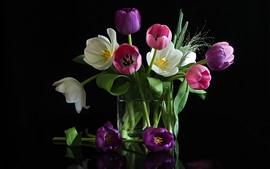 White, pink tulip flowers, black background