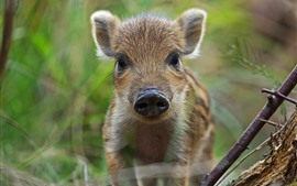 Preview wallpaper Wildlife, little boar look at you