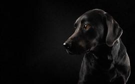 미리보기 배경 화면 검은 개와 검은 배경, 봐