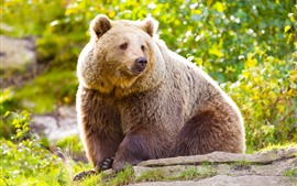 Preview wallpaper Brown bear, look, green, nature