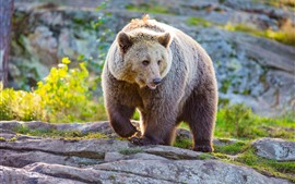 Preview wallpaper Brown bear, wildlife, front view