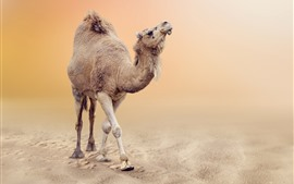Preview wallpaper Camel in desert
