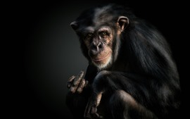 Preview wallpaper Chimpanzees, monkey, animal