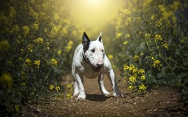 Preview wallpaper Dog, rapeseed flowers