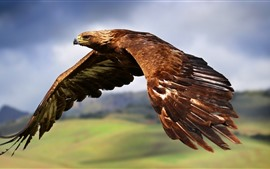 Preview wallpaper Eagle flight, wings, sky