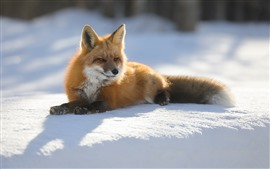 Fox, neve, sol, inverno