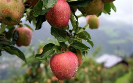 Preview wallpaper Fresh apples, water droplets, apple tree