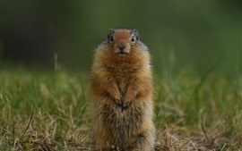Preview wallpaper Gopher, standing up, wildlife