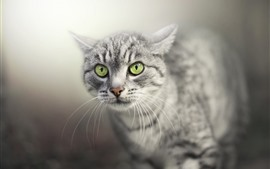 Preview wallpaper Gray cat, face, green eyes, hazy background