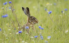 Preview wallpaper Gray rabbit, hare, grass, blue flowers