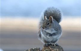 Preview wallpaper Gray squirrel, stay