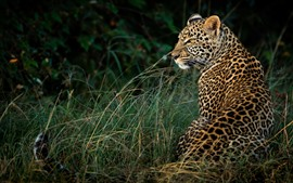 Preview wallpaper Leopard, back view, grass, wildlife