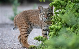 Lynx, wildcat, green plants