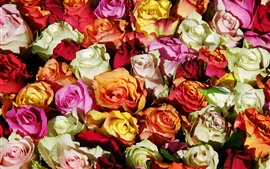 Preview wallpaper Many roses background, colorful flowers, petals